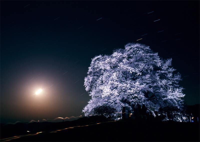 幽玄醍醐桜